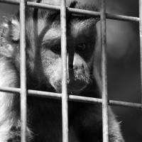 Le singe en prison
